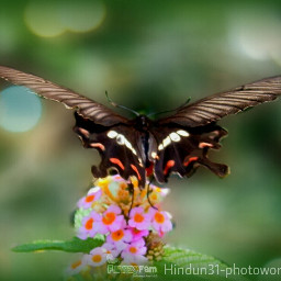 indonesia photography butterfly colorful bokeh flower funnzyfam