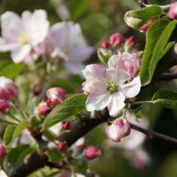wei rosa knospen apfelbl garten oldphoto flower